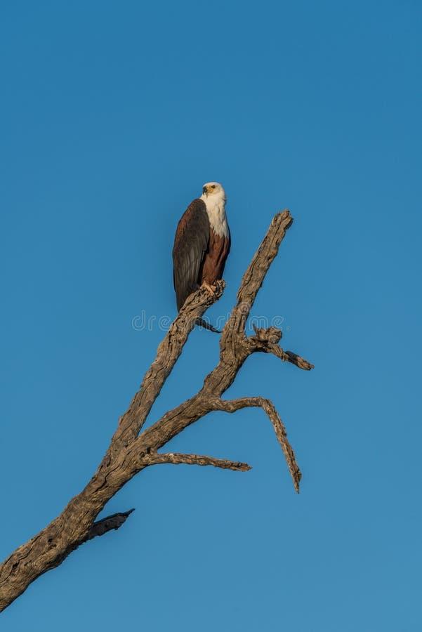 Águila de pescados africana que se sienta en tocón de árbol muerto foto de archivo libre de regalías