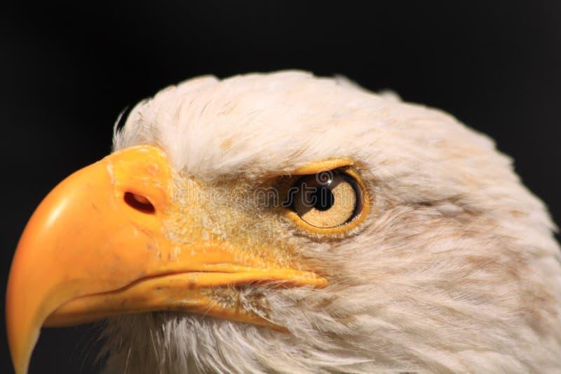 Águila de pescados americana imagen de archivo libre de regalías