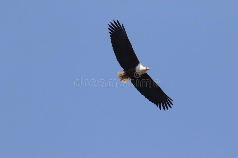 Águila de pescados en Namibia septentrional imagen de archivo libre de regalías
