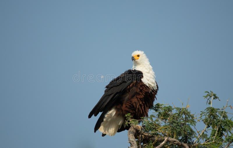 Águila de pescados que se sienta en el top de un árbol fotografía de archivo libre de regalías