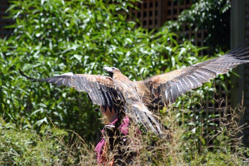 Águila de Wedgetail imágenes de archivo libres de regalías