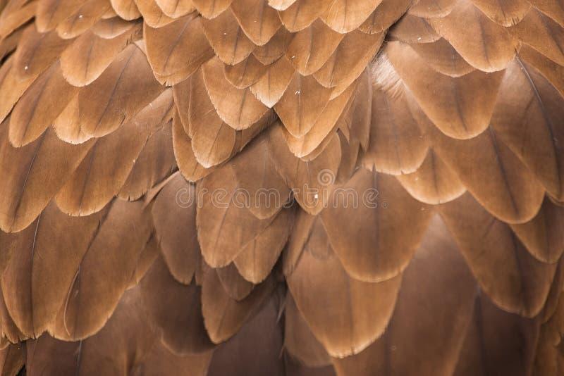 Águila del este fotografía de archivo