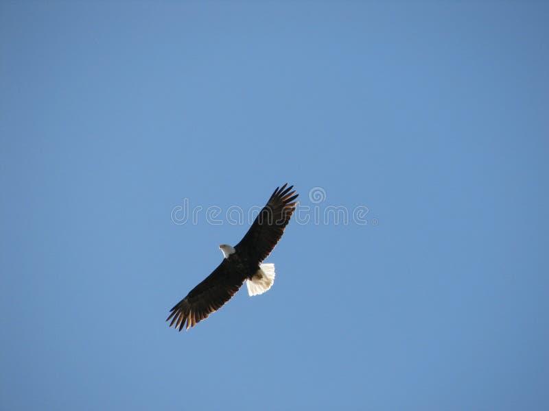 Águila del vuelo fotos de archivo