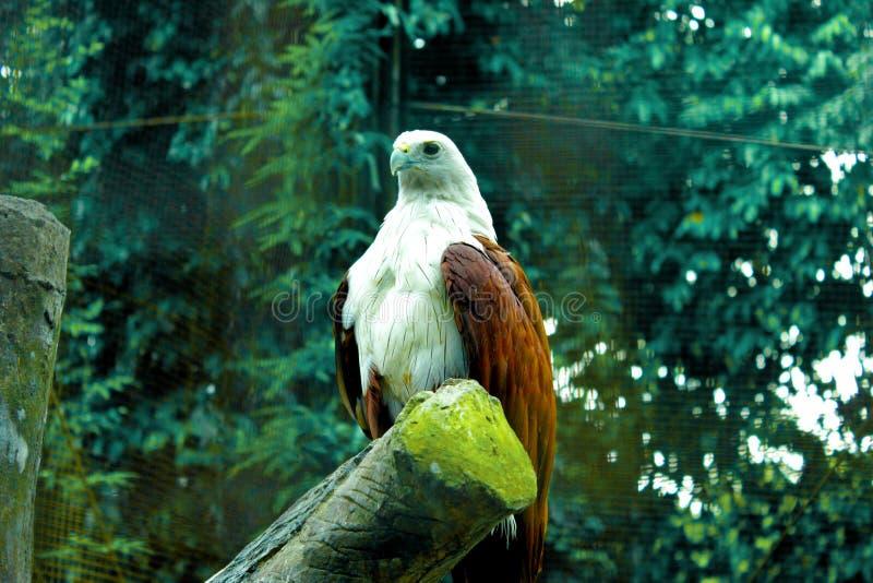 Águila derecha Indonesia TMII fotografía de archivo
