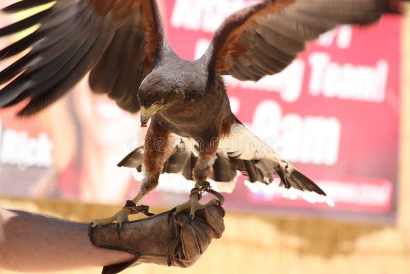 Águila en la mano del halconero imagen de archivo
