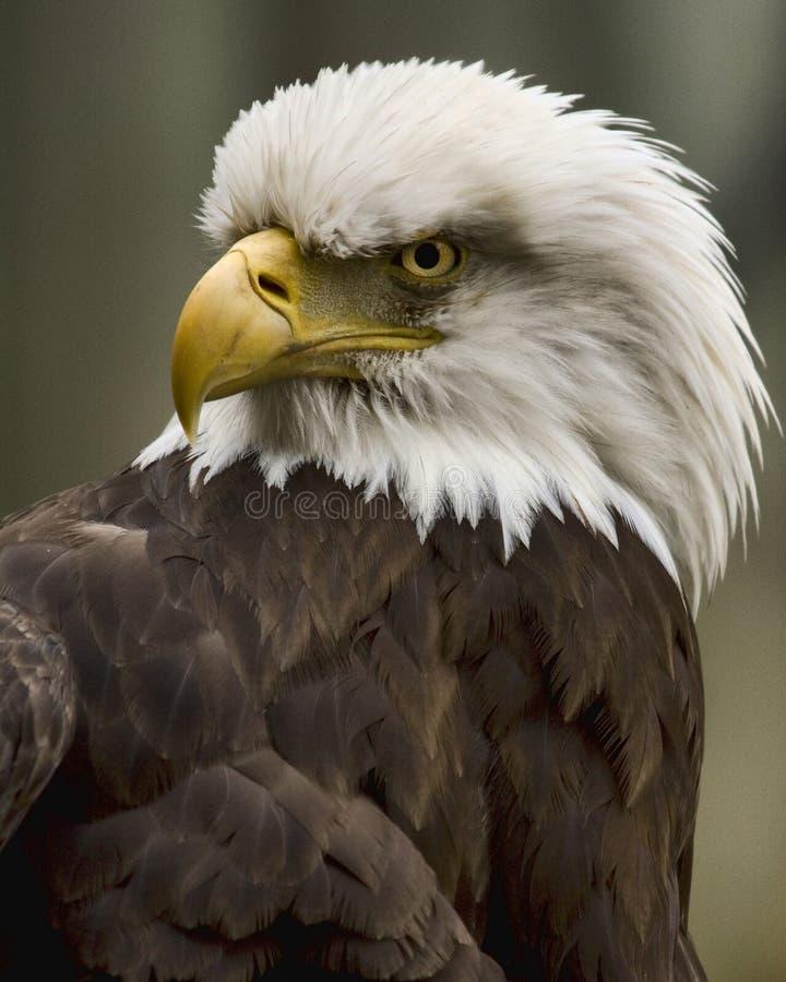 Águila Glaring foto de archivo