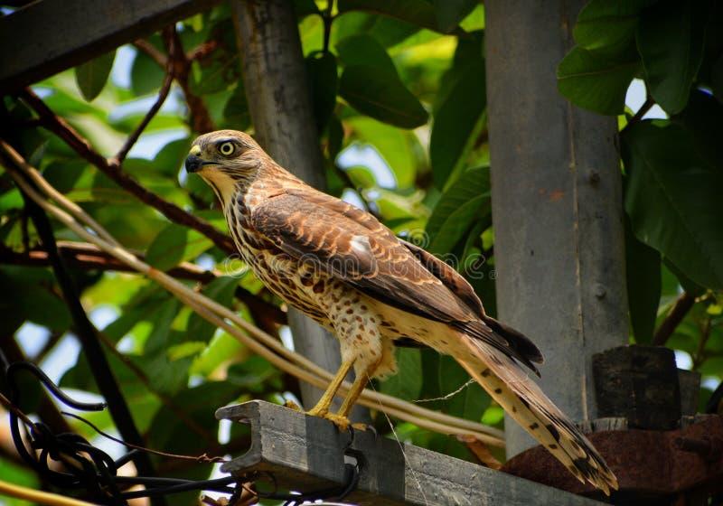 Águila india del halcón foto de archivo