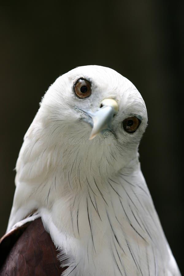 Águila linda fotos de archivo