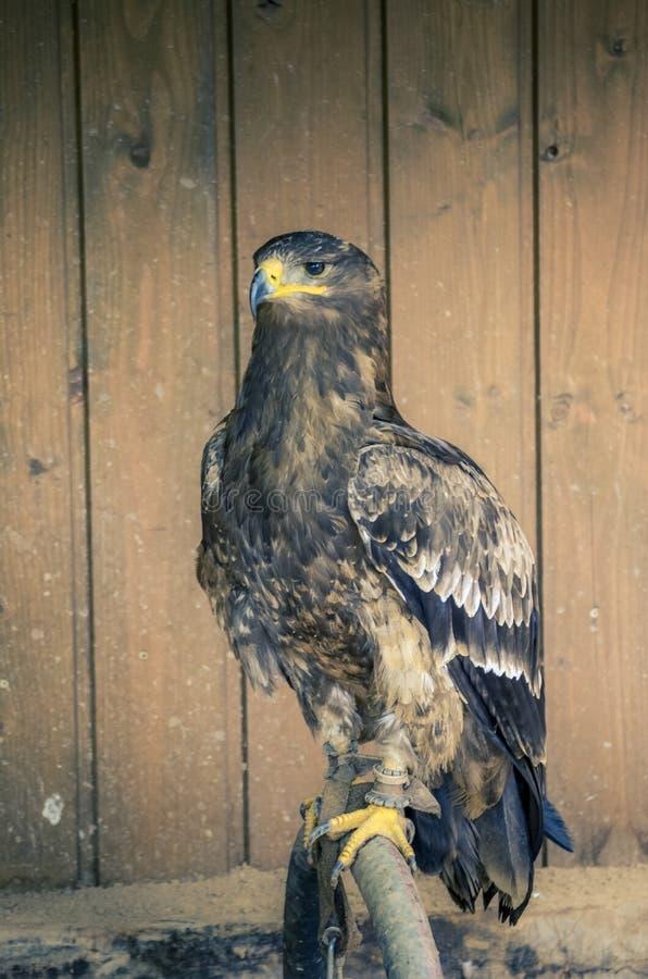 Águila marrón grande que se sienta en una perca fotografía de archivo