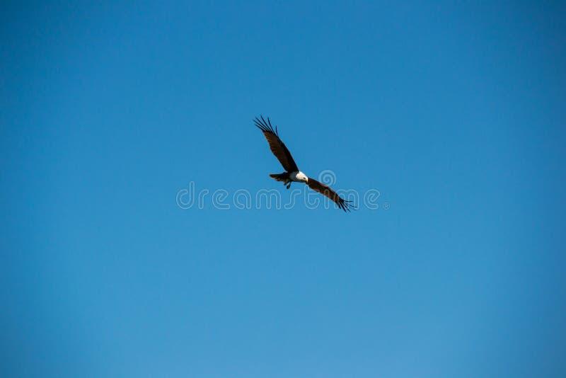 Águila marrón Swooping en cielo foto de archivo