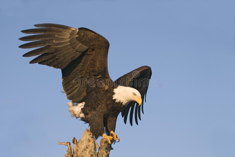 Águila que mira abajo de perca imagen de archivo