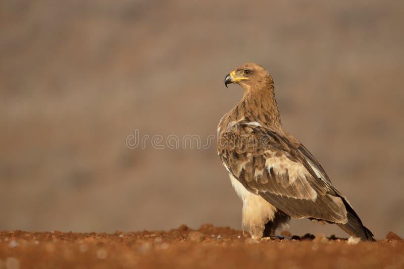 Águila rojiza, rapax de Aquila imágenes de archivo libres de regalías