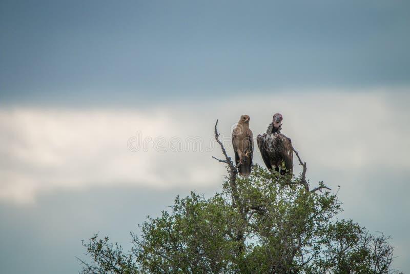 Águila rojiza y buitre Orejera-hecho frente en un árbol fotos de archivo libres de regalías