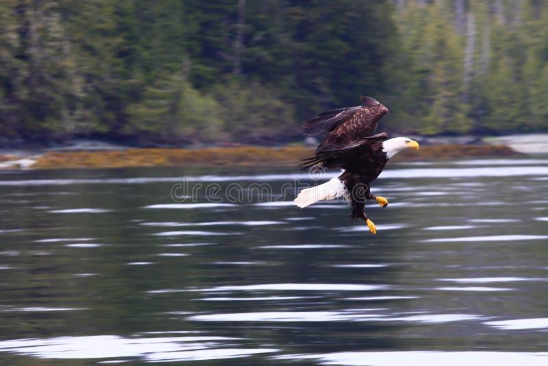 Águila Swooping sobre el río fotos de archivo libres de regalías
