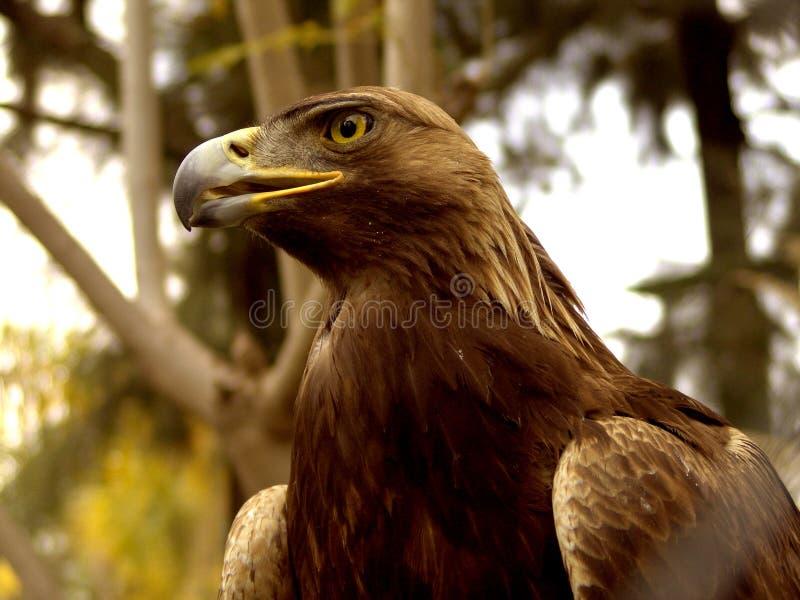 Águila verdadera foto de archivo