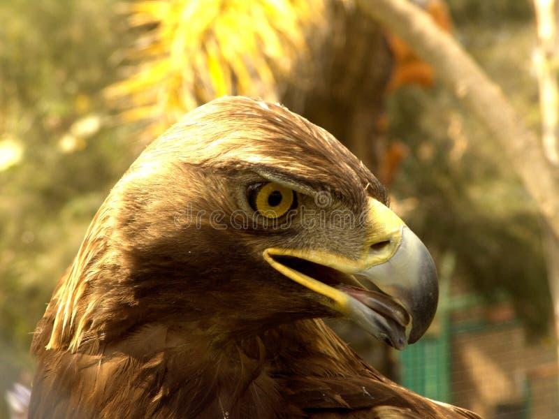 Águila Verdadera Fotos de archivo libres de regalías