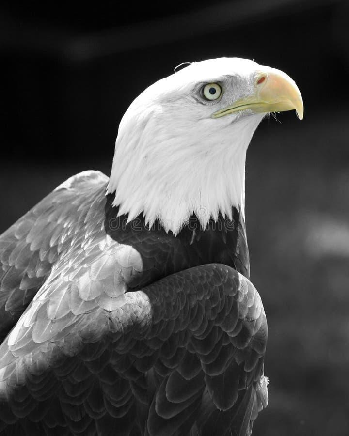 Águila vigilante foto de archivo