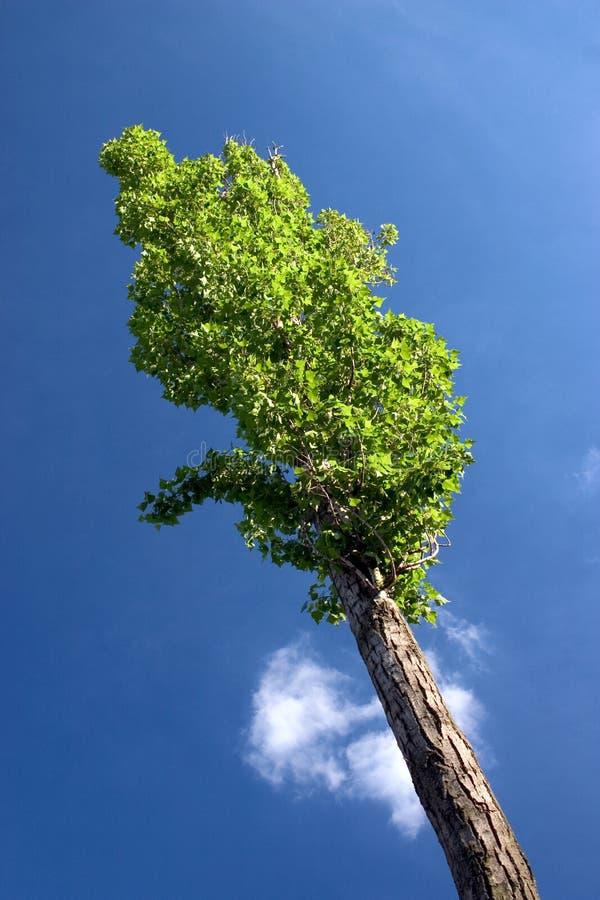 Download Álamo foto de archivo. Imagen de azul, nube, aire, álamo - 181876