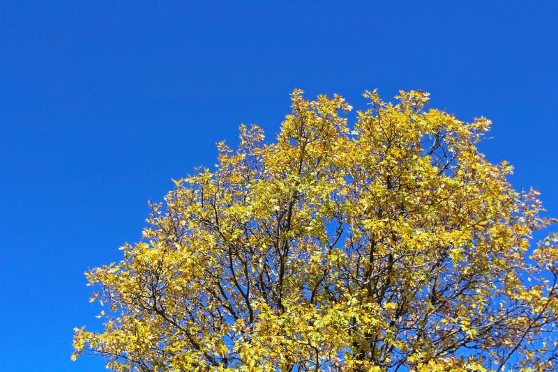 Álamo amarelo em Jess Martin Park, juliano, Califórnia imagem de stock