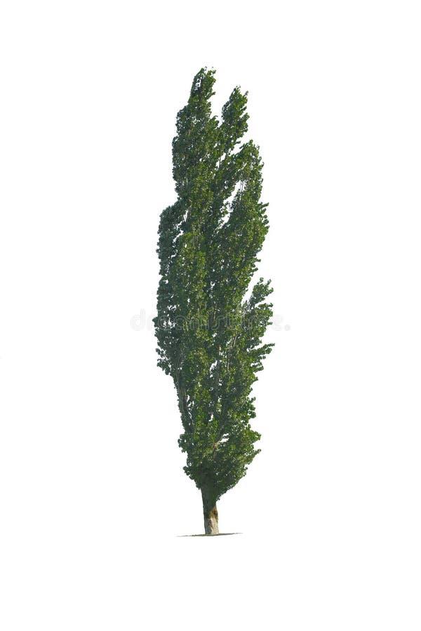 Álamo del árbol aislado en el blanco imágenes de archivo libres de regalías