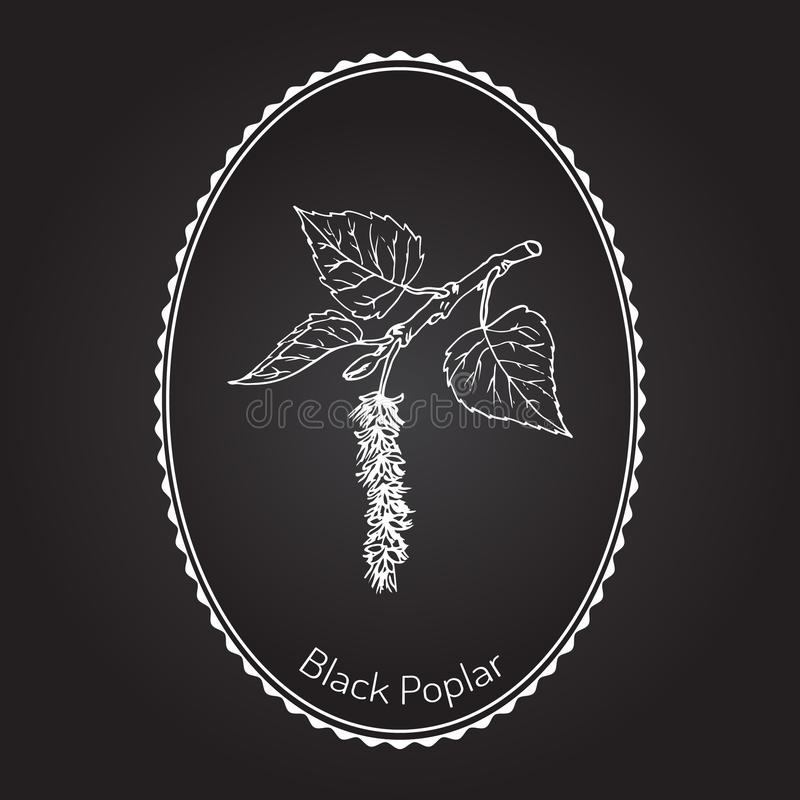 Álamo negro ilustración del vector
