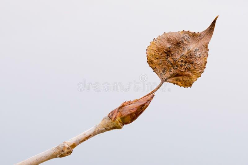 Álamo novo Bud With Leaf fotografia de stock
