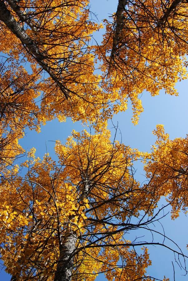 Álamo tremedor do outono fotos de stock