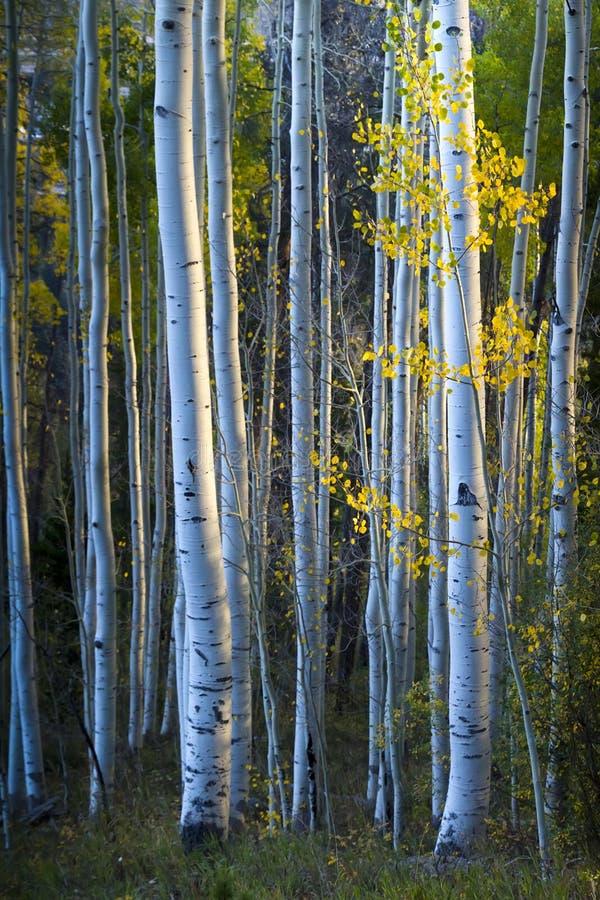 Álamos tembloses azules con las hojas del amarillo de la luz del sol y de la caída de la mañana fotos de archivo