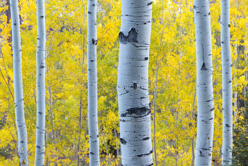 Álamos tembloses azules con las hojas del amarillo de la luz del sol y de la caída de la mañana imagen de archivo libre de regalías