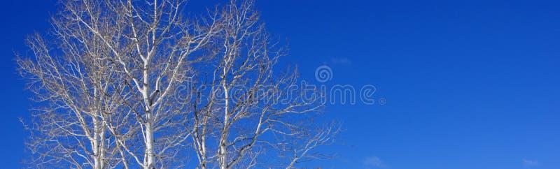 Álamos tembloses blancos contra el cielo azul claro del invierno fotos de archivo