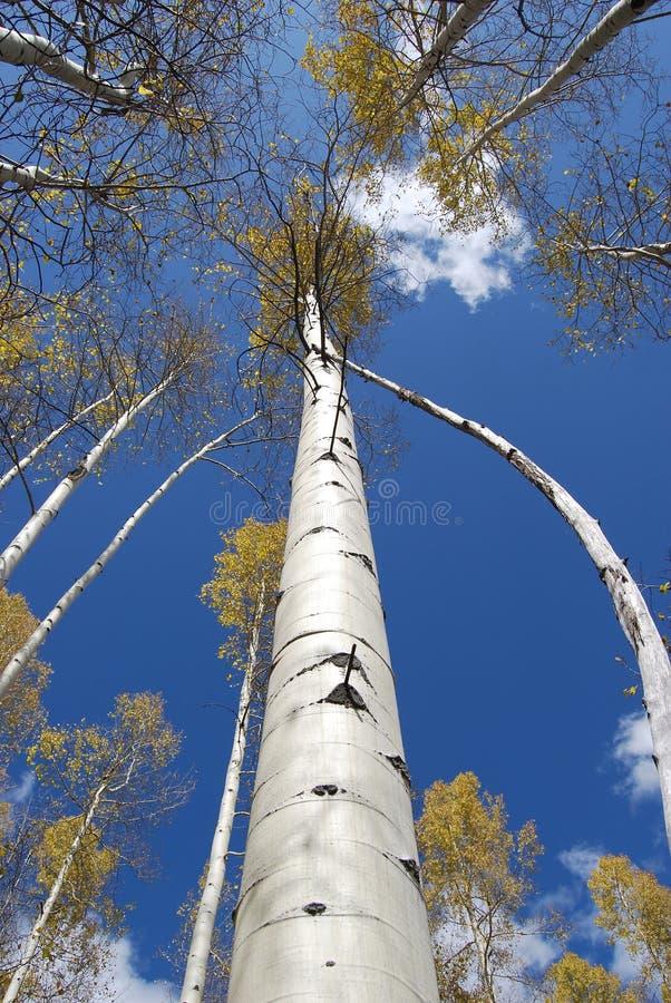 Álamos tembloses de Colorado fotos de archivo