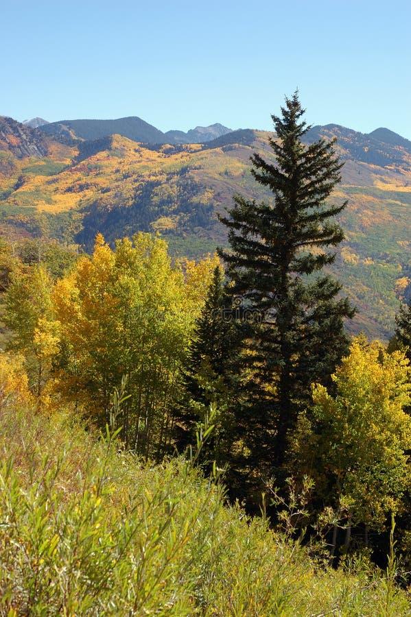 Álamos tembloses de oro en el paso de McClure, Colorado fotografía de archivo
