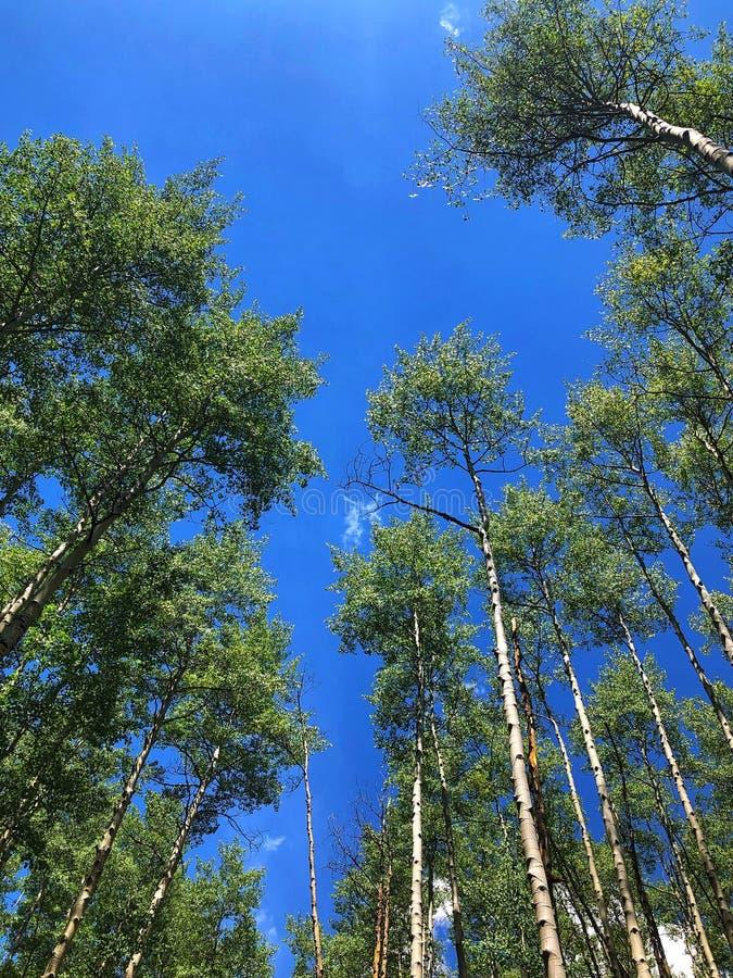 Álamos tremedores altos Convergin no céu azul profundo fotografia de stock