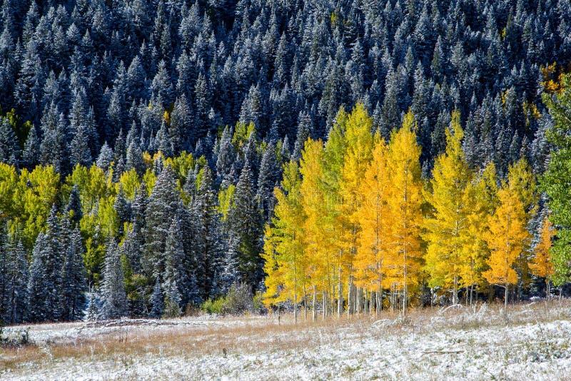 Álamos tremedores amarelos na montanha de Colorado fotos de stock royalty free