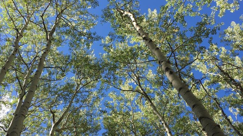 Álamos tremedores de Colorado imagens de stock