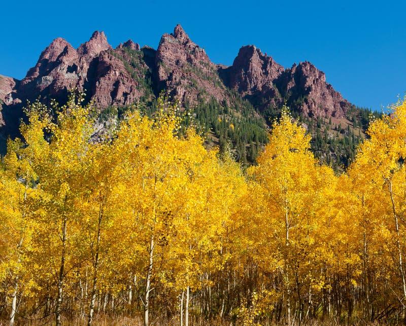 Álamos tremedores de Colorado imagem de stock