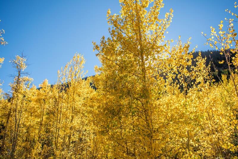 Álamos tremedores de Colorado fotografia de stock royalty free