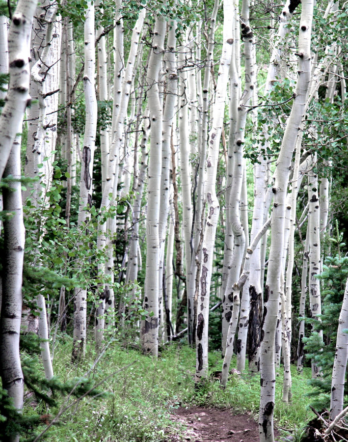 Álamos tremedores de Colorado foto de stock royalty free