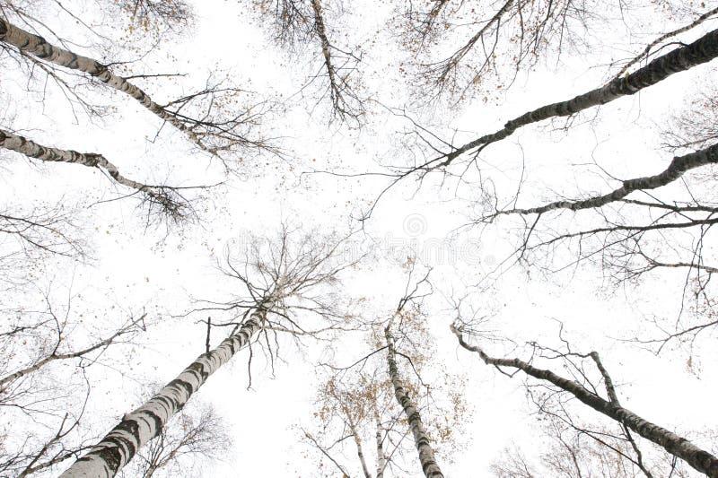 Álamos tremedores do inverno imagens de stock