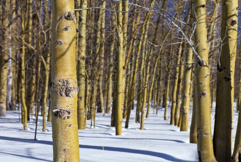 Álamos tremedores do inverno fotografia de stock