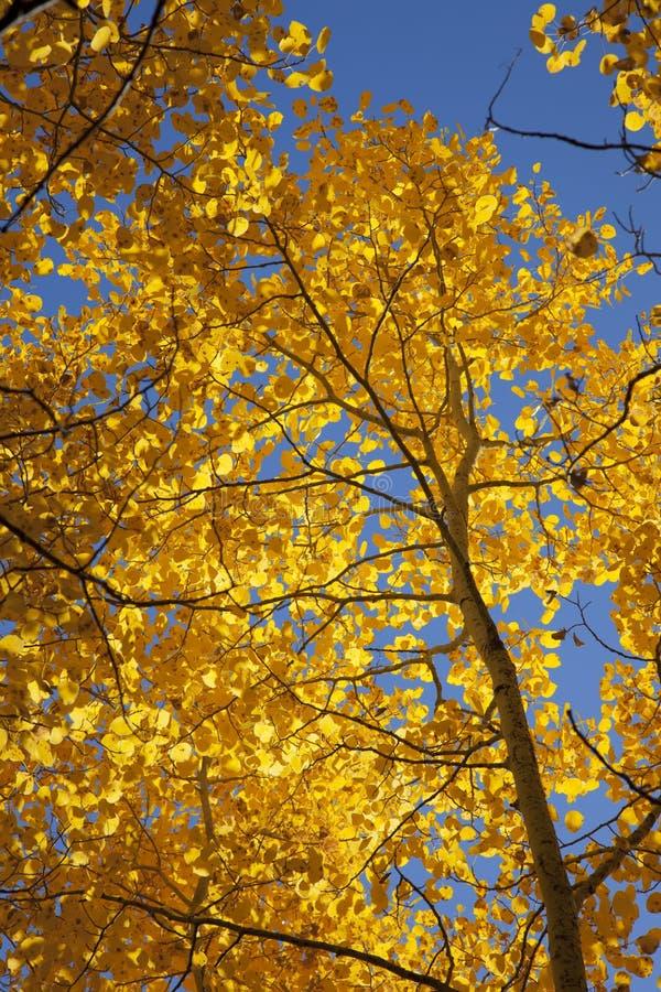 Álamos tremedores do outono foto de stock royalty free