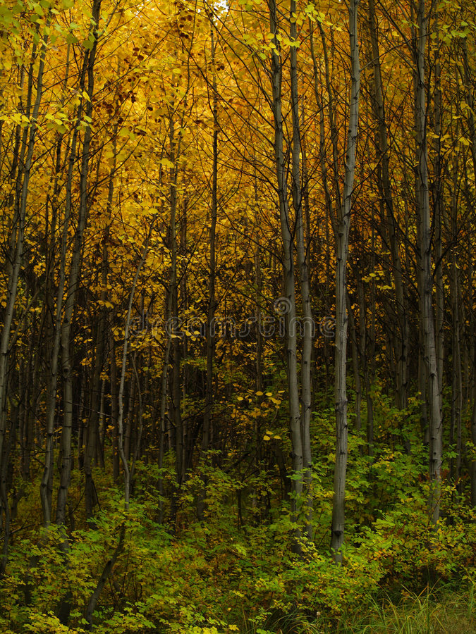Álamos tremedores do outono na curvatura. imagens de stock royalty free