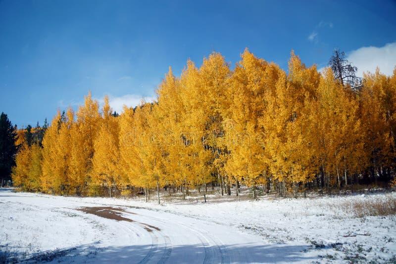 Álamos tremedores dourados fotografia de stock