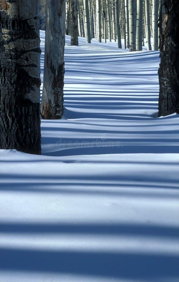 Álamos tremedores e neve fotografia de stock