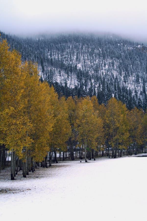 Álamos tremedores em um dia nevado foto de stock