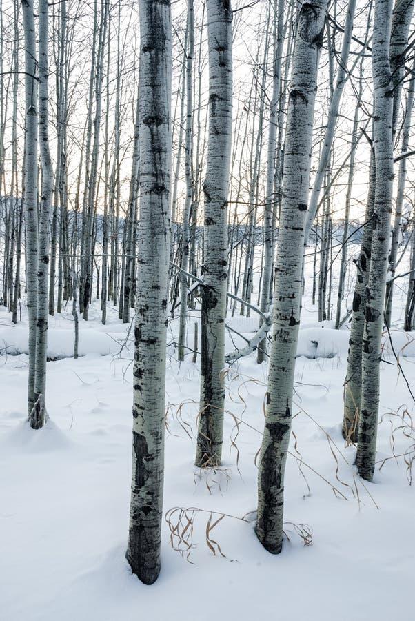 Álamos tremedores na cena branca do inverno da neve foto de stock