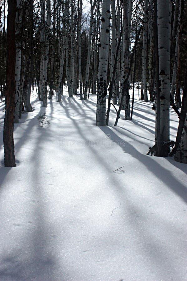 Álamos tremedores na neve imagens de stock