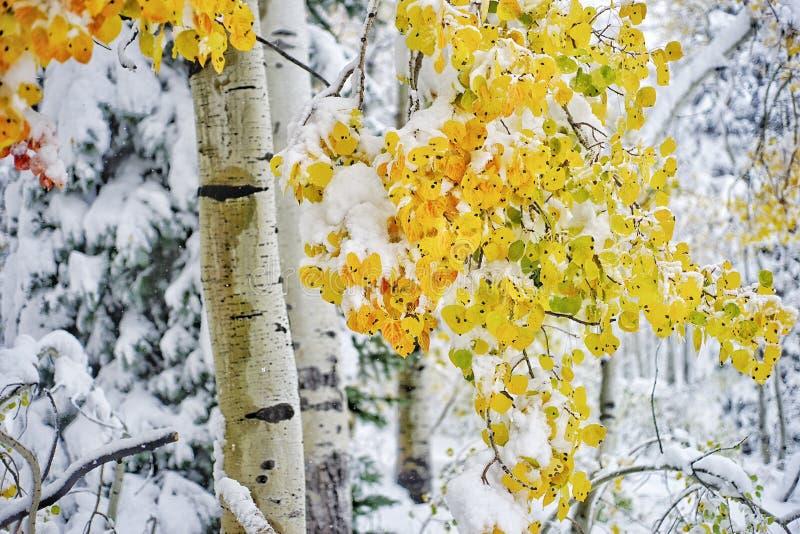 Álamos tremedores nevado fotos de stock royalty free