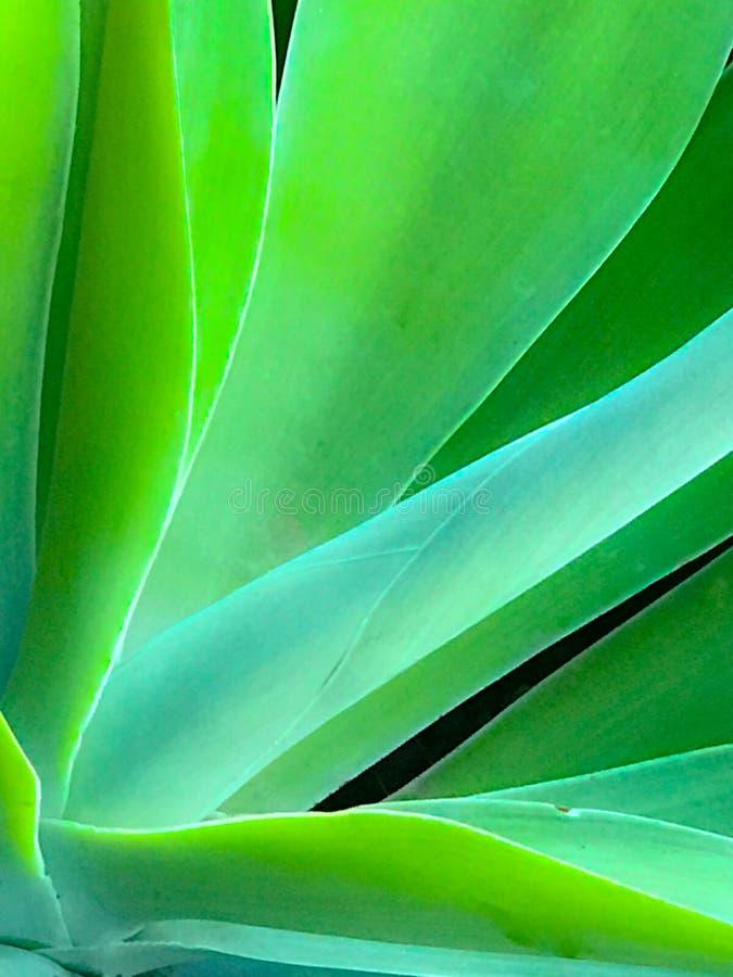 Áloe borroso Vera Cactus del primer fotos de archivo libres de regalías