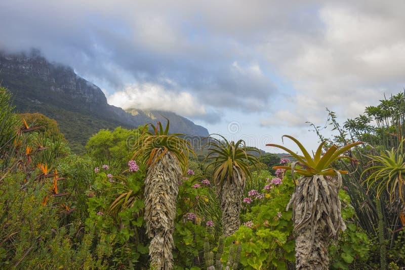 Áloe de los jardines de Kirstenbosch imagenes de archivo